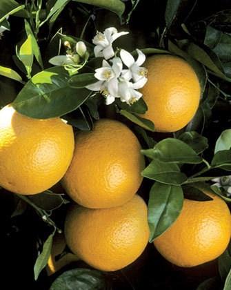 grapefruit10.jpg