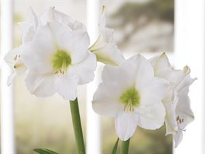 Snow Queen Amaryllis