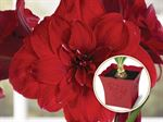 Double Red Amaryllis