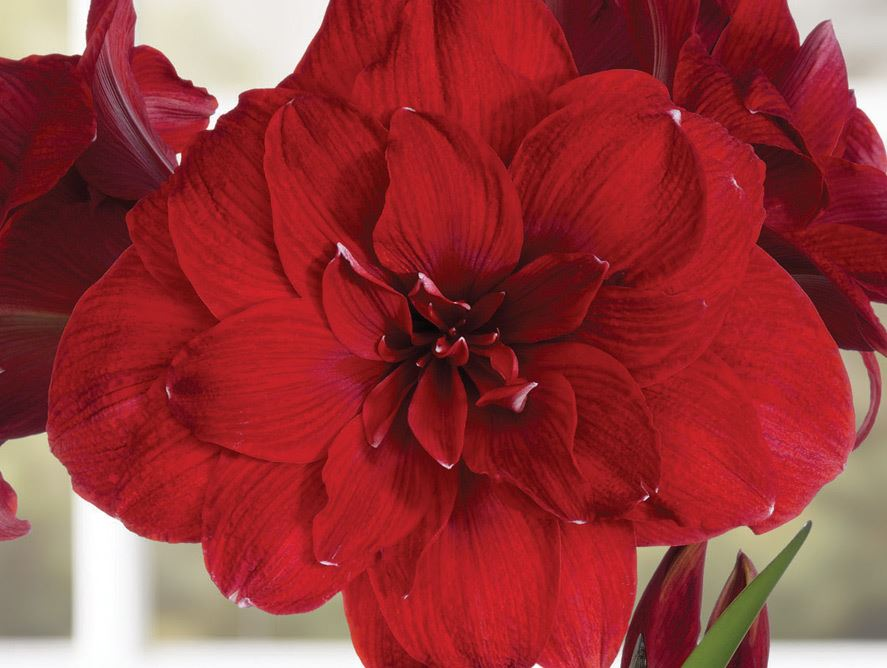 Double Red Amaryllis By Pittman & Davis