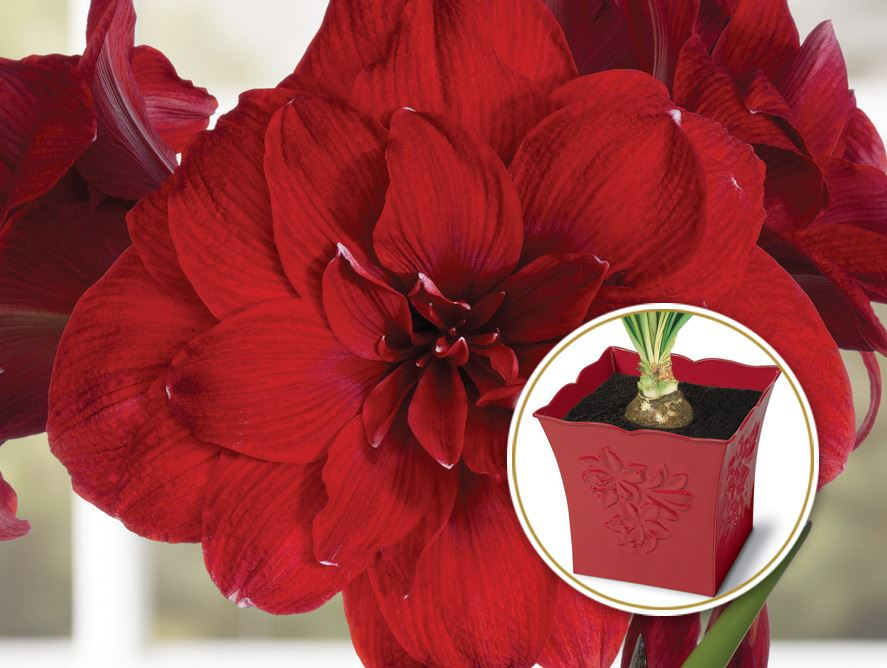 Double Red Amaryllis With Embossed Tin