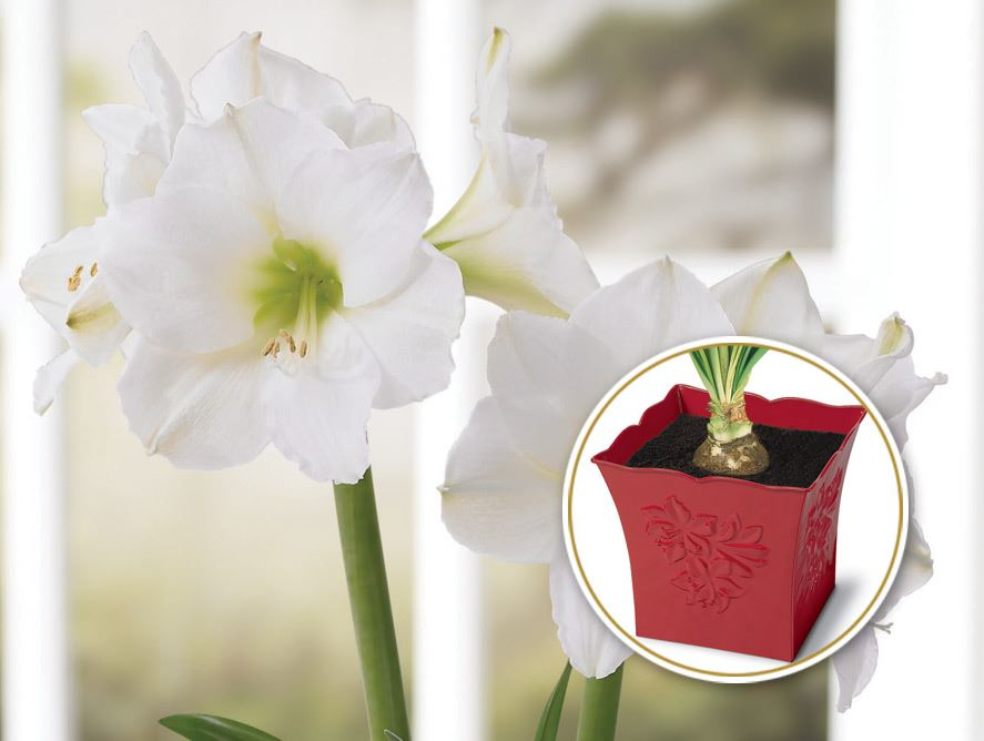 Snow Queen Amaryllis With Embossed Tin